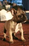 Frenchie Dog 2
