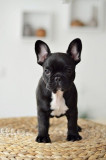 Frenchie Woof