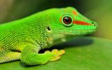 Gecko closeup 1920x1200 fondo de pantalla de desca...