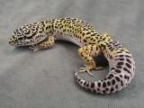 Gecko del leopardo la vida