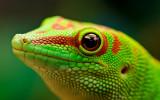 Green Madagascar Day Gecko 2 Free Desktop
