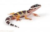 LEOPARD GECKO en Pinterest Leopard Geckos Geckos