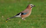 Jay bird {sustantivo}